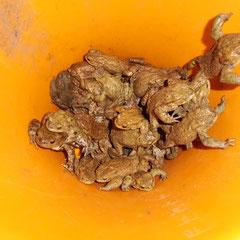 Gesammelte Erdkröten im Fangeimer