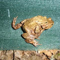 Erdkrötenpärchen am Hinwanderungszaun