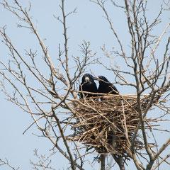 """Saatkrähen """"Unser Nest"""""""