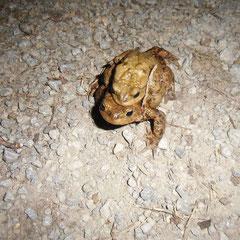 Erdkrötenweibchen trägt Männchen