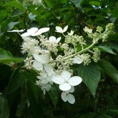 サビタ(ノリウツギ)の花
