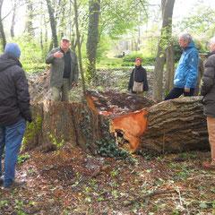 Horst Schenkel bedauert den Verlust eines Baumes, in dem ein Grünspecht seit Jahren seine Nisthöhle hatte.
