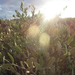 ♡ 夕日の光とホホバ(純粋種Sayuri原種ホホバ)