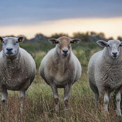 Westerhever-Schafe