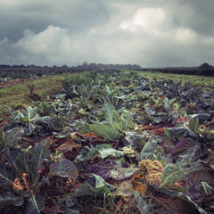 "<span style=""font-family: Ubuntu Condensed; letter-spacing:0.3em;"">CAULIFLOWER FIELD</span>"