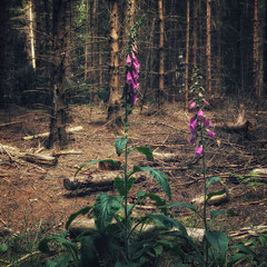 "<span style=""font-family: Ubuntu Condensed; letter-spacing:0.3em;"">FOXGLOVE</span><br>"