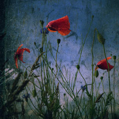 """<span style=""""font-family: Ubuntu Condensed; letter-spacing:0.3em;"""">POPPIES</span><br>"""
