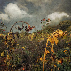 "<span style=""letter-spacing:0.3em"">DYING SUNFLOWERS</span><br>"