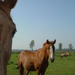 Pferdeland - Ostfriesland Zucht  und Ausbildung