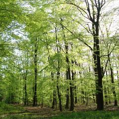 Laubwälder im Frühling