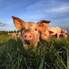 Echt Schwein  gehabt !    Sie haben unsere Ferienhäuser entdeckt .