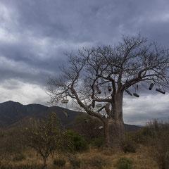 Baobab mit Bienenstöcken