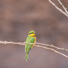 Serengeti - Bee Eater