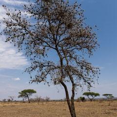 Serengeti - Ikoma