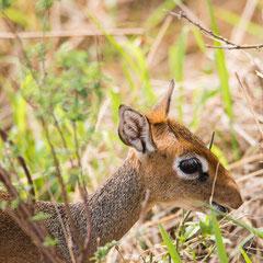 Serengeti - Dik Dik