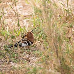 Serengeti - Wiedeholpf