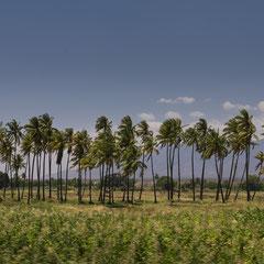 Palmen auf dem Weg Moshi - Usambara Berge
