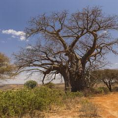 Baobab/Affenbrotbaum