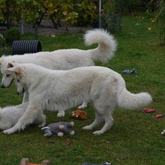 Leona und Django jagen einen Welpen...
