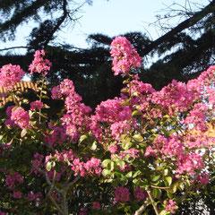 lilas des indes algestronia
