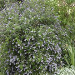 céanote persistant -  bouturage en été - terre riche et légère - fl. avril