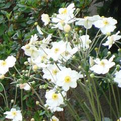 amémone japonica honorine jubert - division des touffes au printemps - sol frais bien drainé - fl. mi-ombre août à octobre