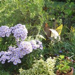 aster king georges - division des touffes au printemps - terre ordinaire riche fraîche - 6h soleil juin à rajeunir tous les 3 ou 4 ans