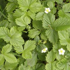 fraises sauvages - se déplacent avec ses stolons - sol ensoleillé récolte en juin