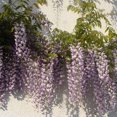 glycine wisteria sinensis - marcottage en juillet, tige avec 2 yeux enlevez les feuilles incisez légèrement l'écorce terre non calcaire aime terre bruyère ensoleillée - fl. mai