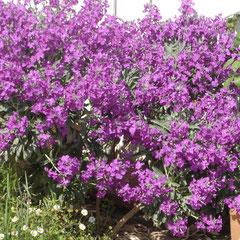 giroflée - se resème naturellement - tout sol ensoleillé - fl. avril mai