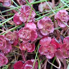 sedum couvre sol rouge tapissant - sol normal, calcaire, sableux, sec - fl.juillet à octobre