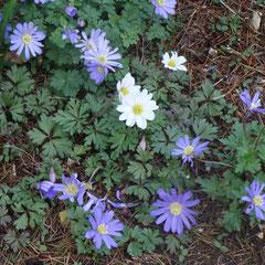anémone blenda - bulbes - terre ordinaire soleil mi-ombre - fl. mars avril - sous bois plante tapissante