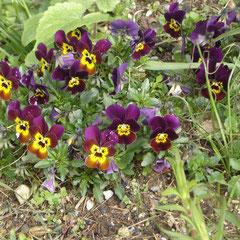 violetta cornuta - se ressème naturellement - tout sol et exposition - fl. avril