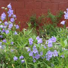 canpanula persicifolia 60/80cm - se ressème spontanément - tout sol soleil mi ombre - fl. juin-août - remonte jusqu'en septembre si on pince les fleurs