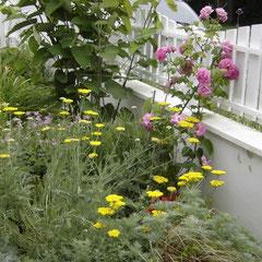 achillée coronation gold - division des  souches - sol leger même calcaire pas trop sec à frais juin à juillet  - fl. juin juillet - coupez les fleurs fanées à la base