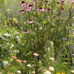 échinops purpurea boule azurée - division des touffes au printemps semis - terre ordinaire bien drainée ensoleillée fl. juillet août  - coupez les tiges fanées à l'automne - rajeunissez souvant les touffes