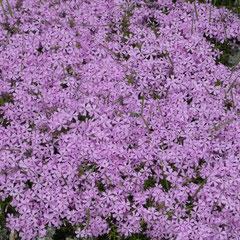 phlox nain en fleur