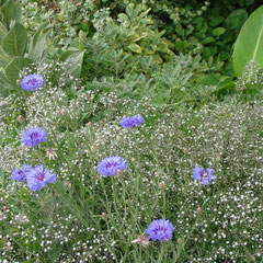 gypsophile - semis au printemps -  sol  ordinaire, calcaire, bien drainé  ensoleillé- fl. mai à septembre