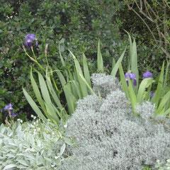 santoline grise -  division des touffes au printemps ou bouturage automne  - terre bien drainée ensoleillée - fl. juin - tailler après la floraison