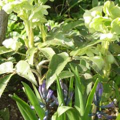 hellebore verte division des touffes en septembre ou semis terre très riche en humus (terreau de feuille et tourbe) mi-ombre