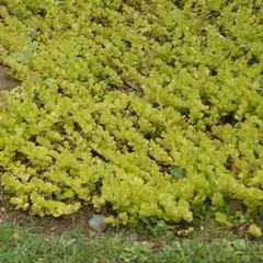 lysimaque nummularia auréa tapissante - division des touffe toute saison -terre ordinaire mi-ombre -  petite feuille dorée décorative