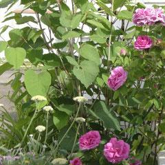 rosier ancien Mme Isaac Pereire -  bouturage après la floraison 2m  - fl. tout l'été