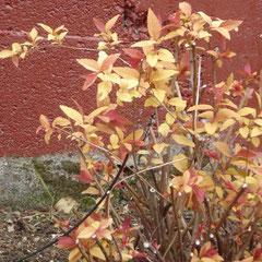spirée glod flame - bouturage en automne - terre ordinaire - feuillage magnifique en avril mars - en été petites fleurs roses rabattre à 20 cm du sol au printemps