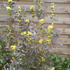 mahonia aquifolium - persistant - bouturage été - terrequelconque toute exposition - fl. janvier à mai