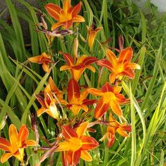 hémerocaille - division des touffes en automne  sol riche humifaire frais ensoleillé  laissez grossir les touffes longtemps