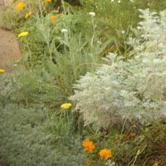 artémise ou armoise - bouturage en automne - sol sec ensoleillé - feuillage odorant -  à tailler tous les ans