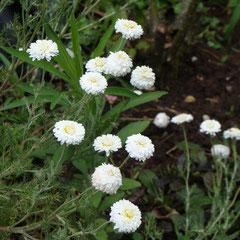 camomille des teinturiers vivace - division des touffes au printemps - sol ordinaire - fl. juillet