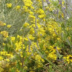 faux curi helichrysum d'Italie - bouturage courte dans du sable terre ordinaire ensoleillée fl. juin à août - peut être taillé en topiaire