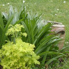 chrysanthème vert acide - intéressant pour le feuillage -  petite fleurs blanches