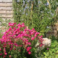 aster domosus jenny - division des touffe fin d'automne - terre ordinaire fraîche - fl. septembre - rabattre après la floraison